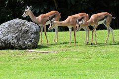 Three Thomson's Gazelles Royalty Free Stock Photo