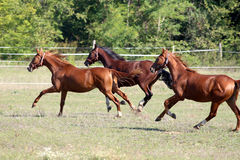 Three thoroughbred horses runs on meadow in a sunny day Royalty Free Stock Photos