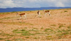 Three Tibetan gazelles Stock Photo