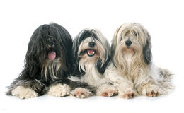 Three Tibetan terrier Royalty Free Stock Images