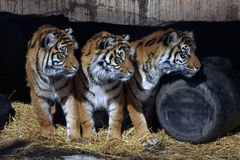 Three Tigers. Three Sumatran Tigers watching something from their den Royalty Free Stock Images