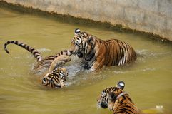 Three tigers play in water. In Tiger Temple in Thailand, Kanchananburi Royalty Free Stock Image