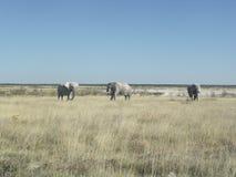 Three elephants in Etosha Namibia Royalty Free Stock Images