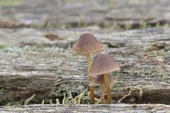 Three tiny mushrooms on Southampton Common royalty free stock photos