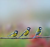 Three titmouses birds. Sitting on a branch royalty free stock photography