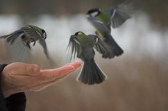 Three tits. Bird, eat, fatten, food, hand, palm, park, sunday, tit, titis, wing, winter, three, fly, cold, man, hand Stock Photos