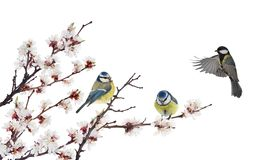 Three tits in cherry tree blossoming branch on white royalty free stock photography