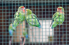 Three tittle parrots at the zoo in Sibiu. Three little parrots at the zoo in Sibiu Stock Photos