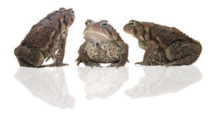 Three toads Royalty Free Stock Image