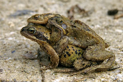 Three toads on the road during toad migration Stock Photography
