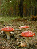 Three toadstool Royalty Free Stock Photography