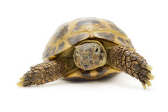 Three Toe Box Turtle. Closeup of a Russian box tortoise isolated in front of a white background Royalty Free Stock Photography