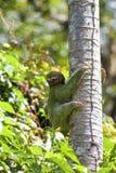 A Three-toed Sloth Stock Photos