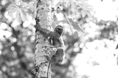 A Three-toed Sloth Stock Images