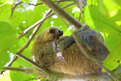 Three-toed Sloth Royalty Free Stock Image
