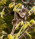 Three-toed Sloth. A Three-toed Sloth (Bradypus) climbs slowly up to the canopy of a tree in the peruvian rainforest Royalty Free Stock Photos
