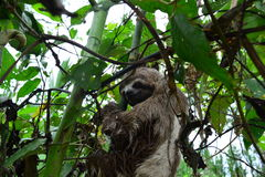 A Three-Toed Sloth in the Amazon Jungle, Peru. Picture of an wild three-toed sloth in the Amazon jungle of Peru. This picture was taken near to the city of royalty free stock photos