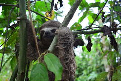 A Three-Toed Sloth in the Amazon Jungle, Peru. Picture of an wild three-toed sloth in the Amazon jungle of Peru. This picture was taken near to the city of stock photo