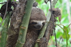 A Three-Toed Sloth in the Amazon Jungle, Peru. Picture of an wild three-toed sloth in the Amazon jungle of Peru. This picture was taken near to the city of royalty free stock image