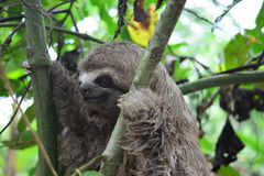 A Three-Toed Sloth in the Amazon Jungle, Peru. Picture of an wild three-toed sloth in the Amazon jungle of Peru. This picture was taken near to the city of stock photography
