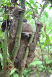 A Three-Toed Sloth in the Amazon Jungle, Peru. Picture of an wild three-toed sloth in the Amazon jungle of Peru. This picture was taken near to the city of royalty free stock photography