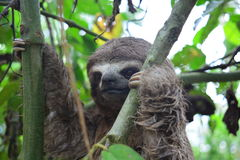 A Three-Toed Sloth in the Amazon Jungle, Peru Royalty Free Stock Images