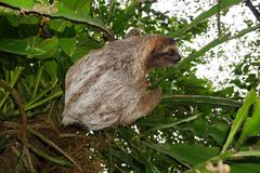 Three-toed sloth animal climbing plant in jungle Royalty Free Stock Photography
