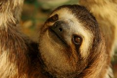 Three-Toed Sloth Royalty Free Stock Photo