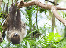 Three-toed Sloth Royalty Free Stock Photos