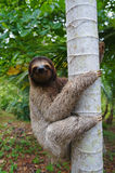 A three-toed sloth climbing on a tree Royalty Free Stock Image