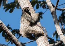 Three-toed Sloth climbing tree, Panama. Close-up of a Brown-throated Three-toed Sloth climbing a Cecropia tree in Panama Stock Photo