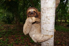 Three-toed sloth climbing on tree trunk in Panama Stock Photo