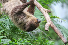 Three Toed Sloth Climbs Royalty Free Stock Images