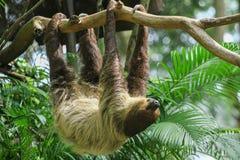 Three Toed Sloth Climbs Royalty Free Stock Photos