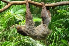 Three Toed Sloth Climbs Stock Image