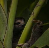 Three-toed Sloth Stock Photos