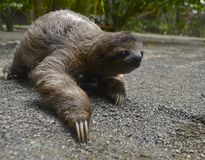 Three Toed Sloth. Sloth crawling on the ground Stock Image