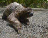 Three Toed Sloth Stock Image