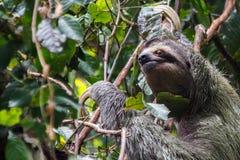 Three-Toed Sloth full Stock Image