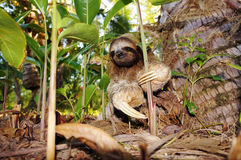 Three-toed sloth on the ground. Costa Rica, Central America Stock Photos