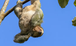 Three Toed Sloth hanging in a tree Stock Images