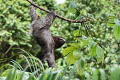 Three Toed Sloth Hanging. A three toed sloth hanging by three legs on a branch of a tropical plant with one arm hanging down Stock Image