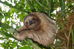 Three-toed sloth in the jungle wild animal. Three-toed sloth looking at camera in the jungle, wild animal, Costa Rica, Central America Stock Photos
