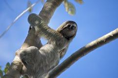 Three-toed Sloth. A male Three-toed Sloth climbing high. Do NOT feed the wildlife Stock Image
