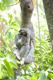 Three-toed Sloth. A male Three-toed Sloth climbing high. Do NOT feed the wildlife Royalty Free Stock Photos