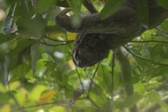 Three-toed sloth in Manuel Antionio National Park stock image