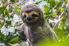 Three-Toed Sloth medium close up