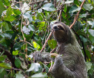 Three-Toed Sloth medium three quarter Stock Image