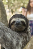 Three-toed sloth with people, Costa Rica Royalty Free Stock Photos