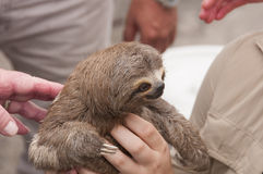 Three-toed sloth in a rain forest market Stock Photography